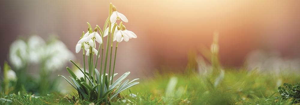 Leucojum vernum in early spring morning